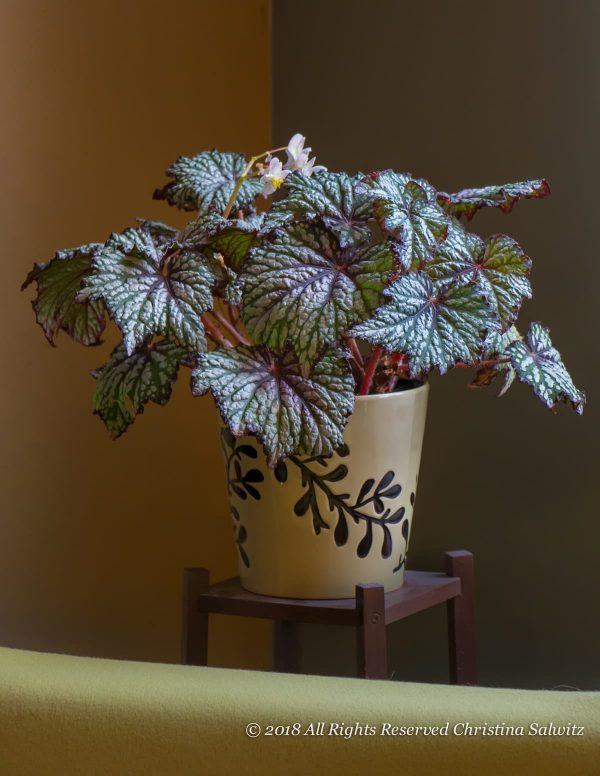 Indoor Fine Foliage Begonia Bliss